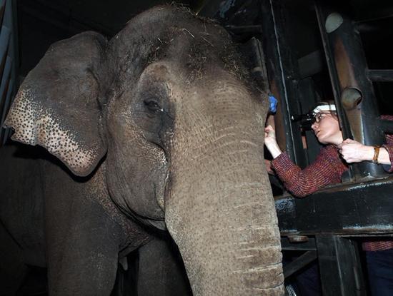荷兰动物园为44岁大象佩戴超大号隐形眼镜(组图)
