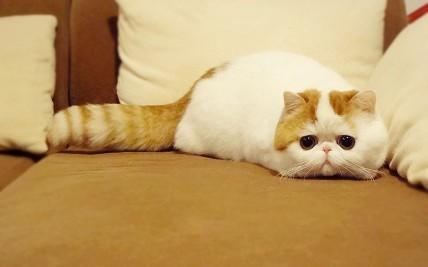 猫叔,俊介后萌宠界新秀:红小胖snoopy(组图)