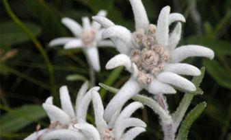 英文经典歌曲欣赏:雪绒花 Edelweiss