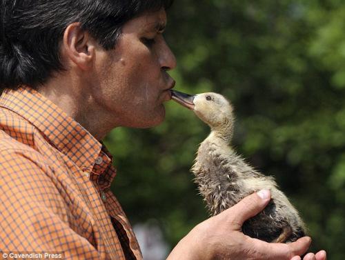 """8只小鸭认50岁男子为""""妈妈"""""""