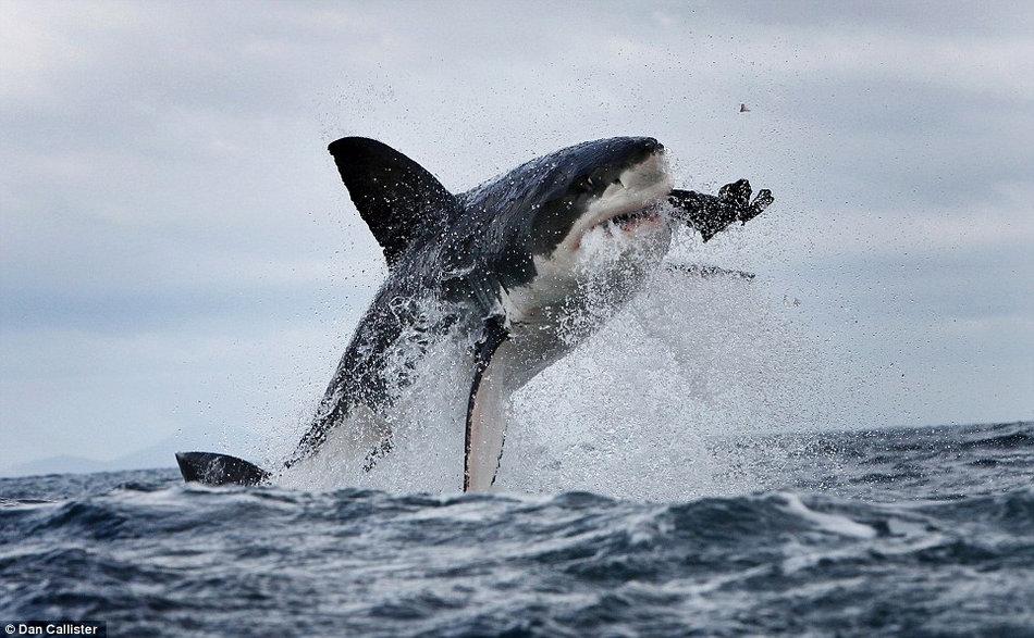 大白鲨追咬海豹用力过猛崩掉牙