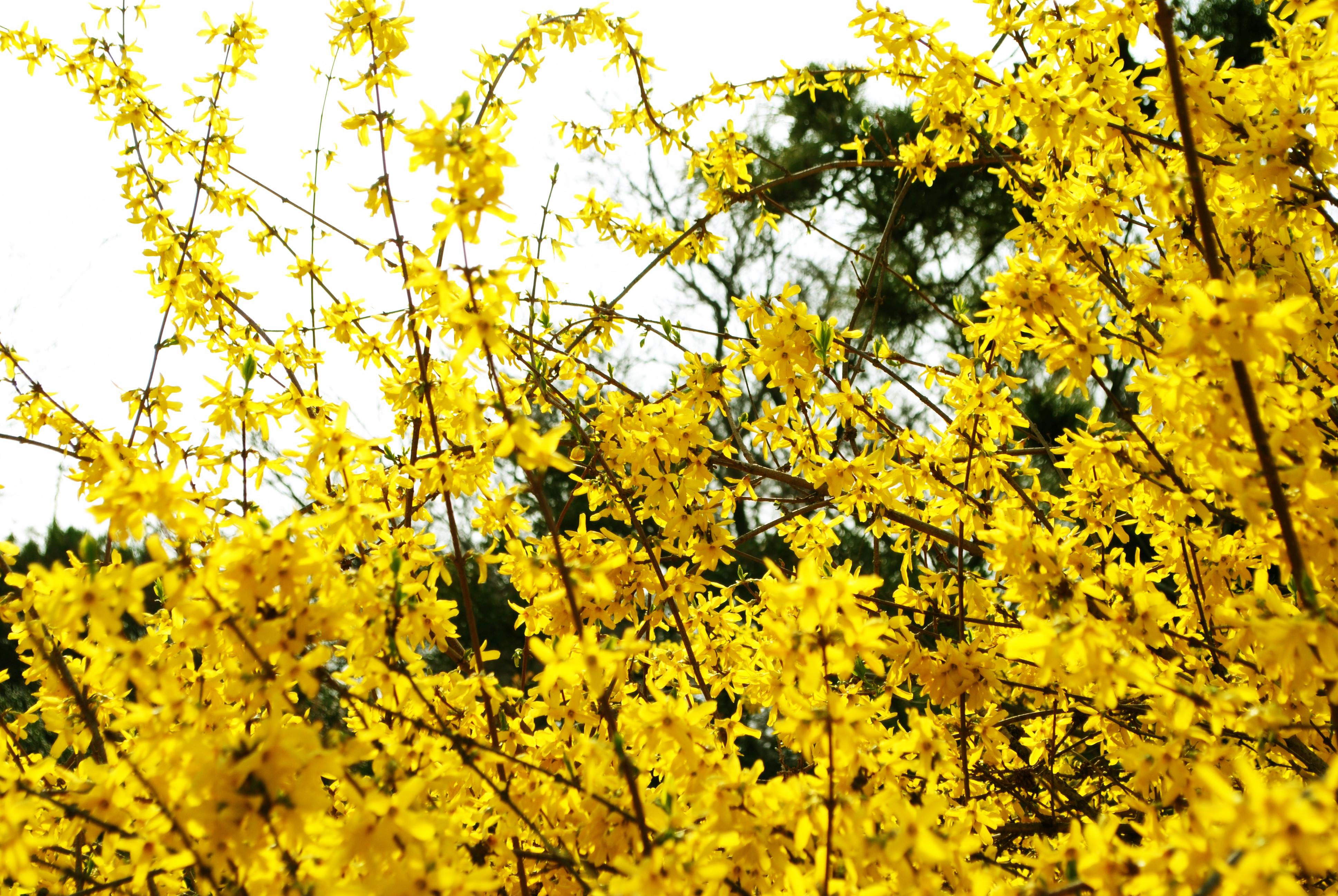 迎春花是什么颜色+迎春花图片