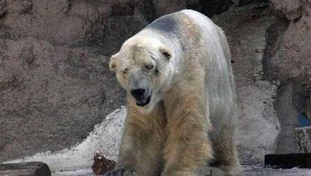 世界上最悲伤的动物:北极熊在阿根廷40度高温折磨