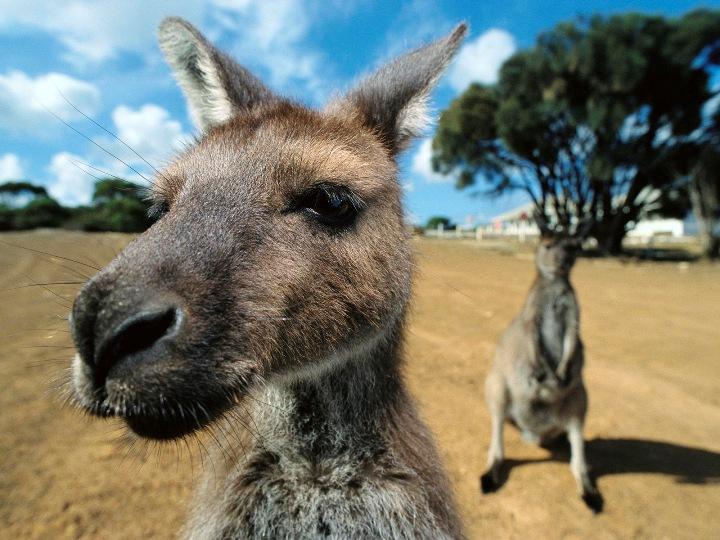 澳大利亚国立大学留学面面观之邂逅袋鼠