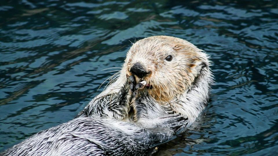Sea otters ahead of dolphins in using tools海獭学会使用工具的时间早于海豚