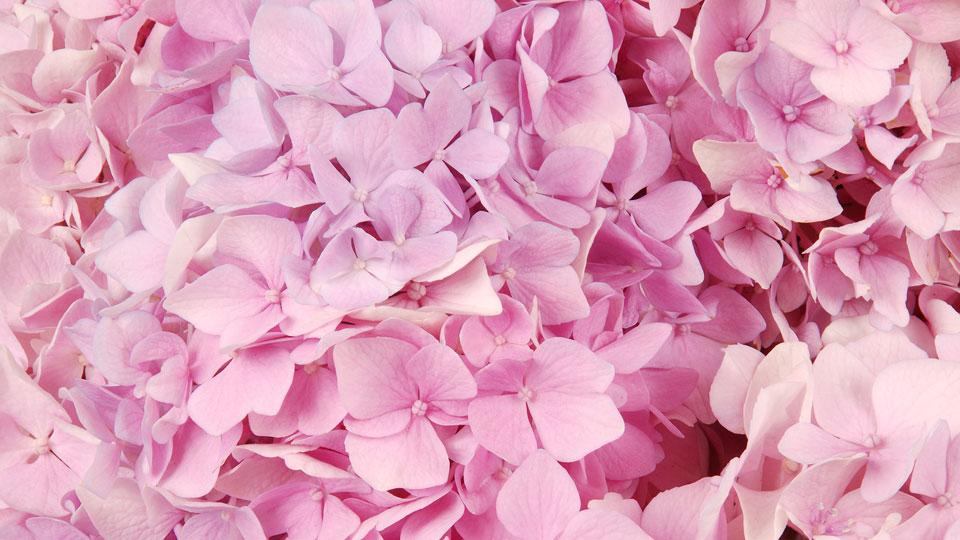 """BBC:英语里""""pink 粉红色""""的含义"""
