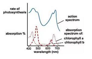 A Level生物——光合作用要点概述