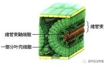 高考生物 >正文     这是玉米等植物的叶的结构,它们的维管束鞘细胞和