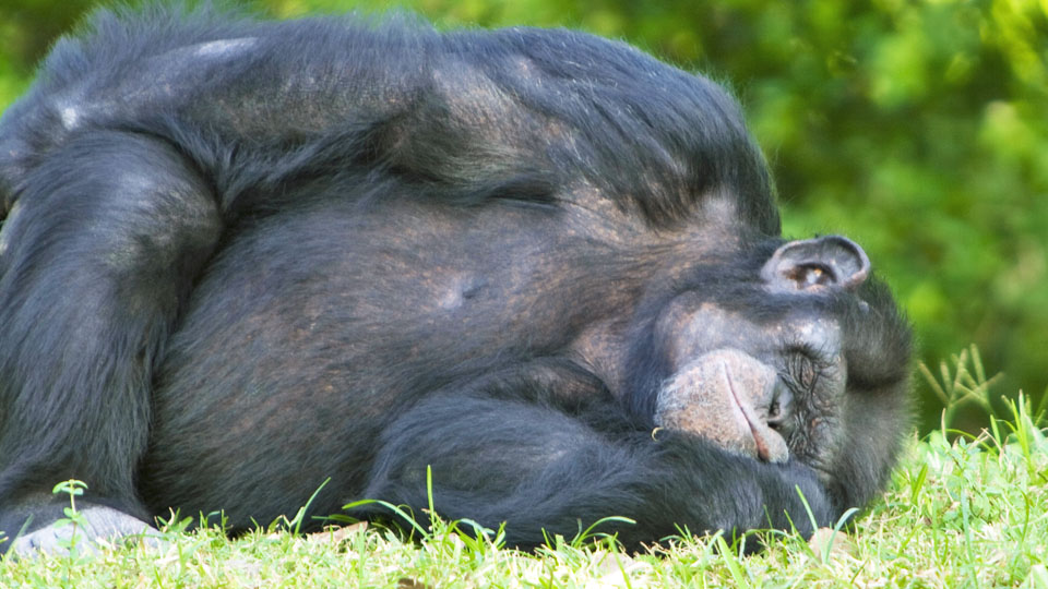 "Are chimpanzee beds cleaner than human ones?黑猩猩的""床""比人类的床还干净?"