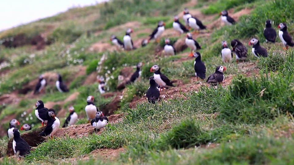 Helping the puffin make a comeback 英海岛研究助濒危物种海鹦鹉数量增加