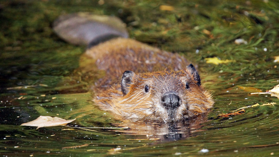 Beavers to become protected species in Scotland狸将成为苏格兰保护动物