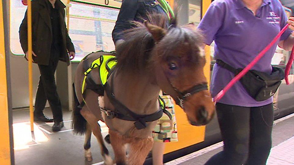 Meet Britain's first trainee guide pony来看看英国第一匹实习导盲马