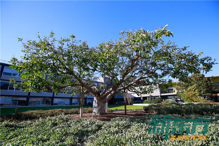 蒙纳士大学牛顿苹果树
