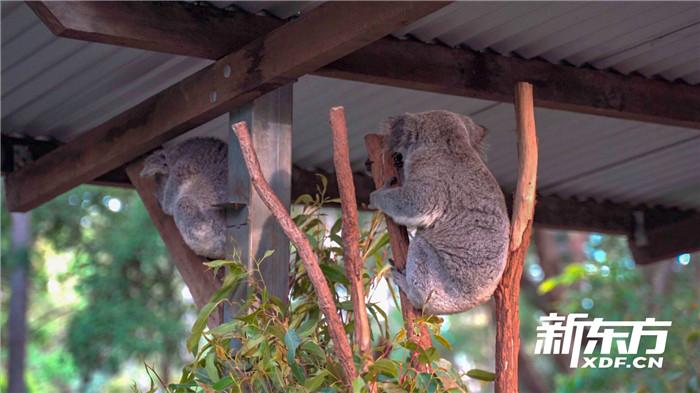 動物園中的考拉