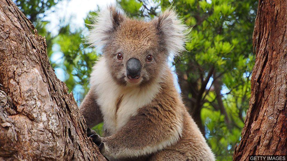 澳大利亚林火获救考拉重归自然 Koalas return to the wild澳大利亚林火获救考拉重归自然 Koalas return to the wild