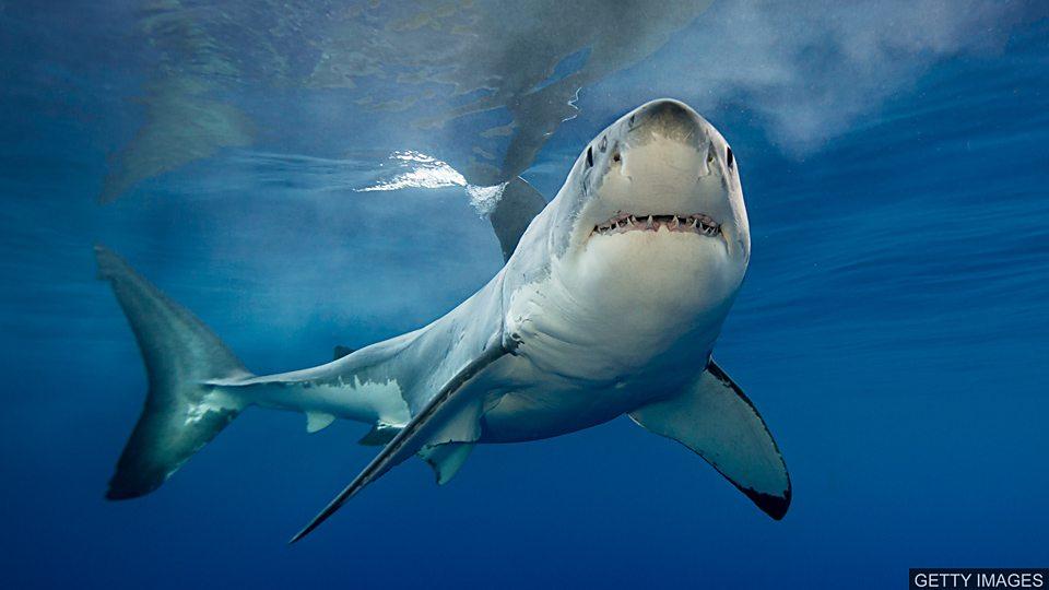 搜尋失蹤的大白鯊 Hunting for the missing great white sharks搜尋失蹤的大白鯊 Hunting for the missing great white sharks