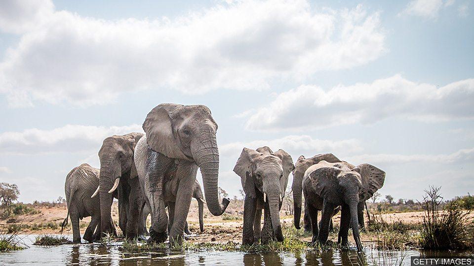 科学家利用卫星图像统计非洲大象的数量 Elephants counted from space for conservation科学家利用卫星图像统计非洲大象的数量 Elephants counted from space for conservation