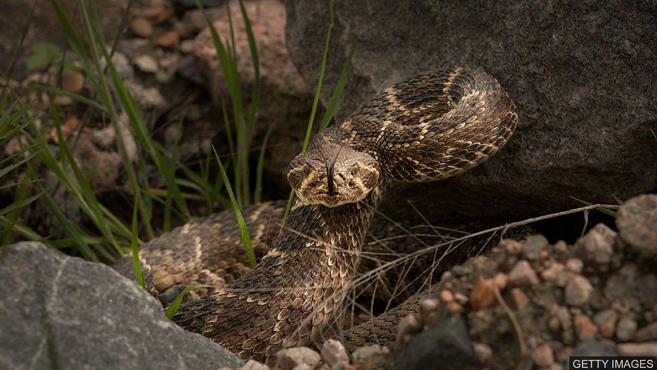 響尾蛇為迷惑接近者切換響動頻率 The sound of rattlesnakes響尾蛇為迷惑接近者切換響動頻率 The sound of rattlesnakes